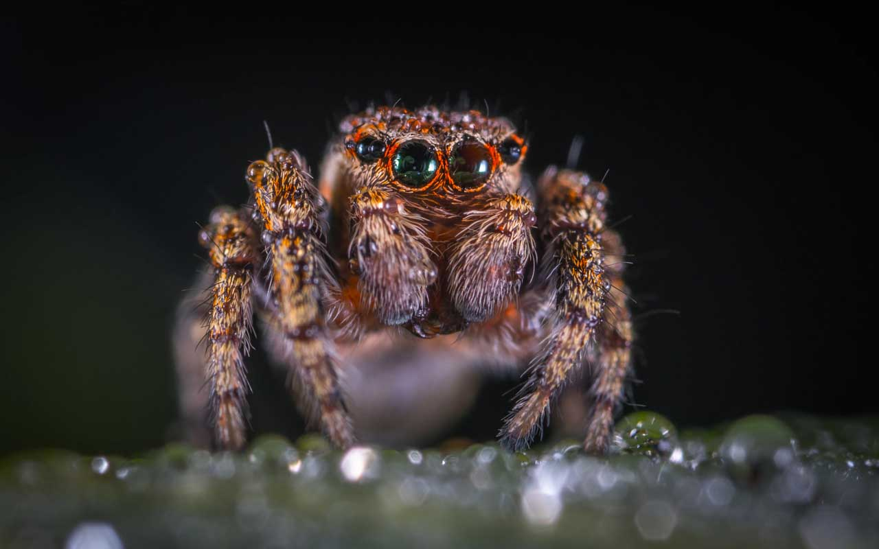 spiders, animals, spiderling, facts, nature, Australia, people