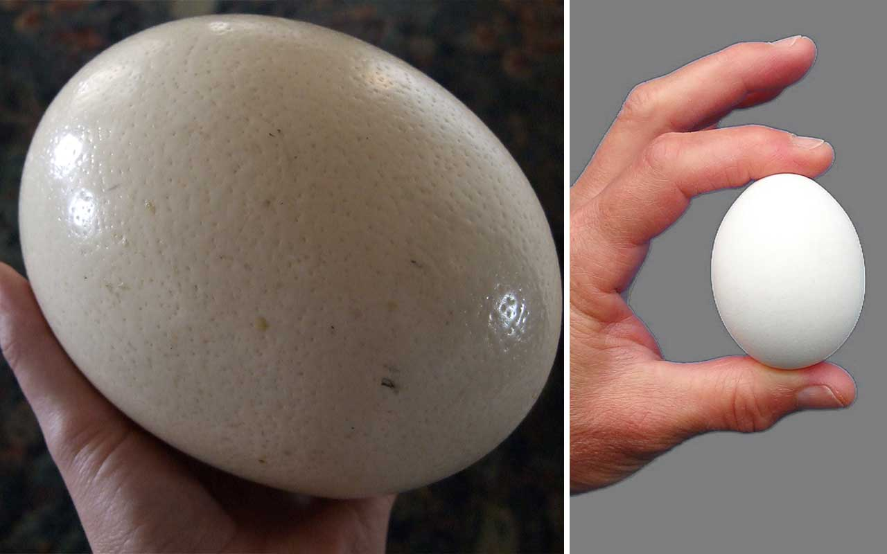 ostrich eggs, chicken, facts, animals, life, people, absurd