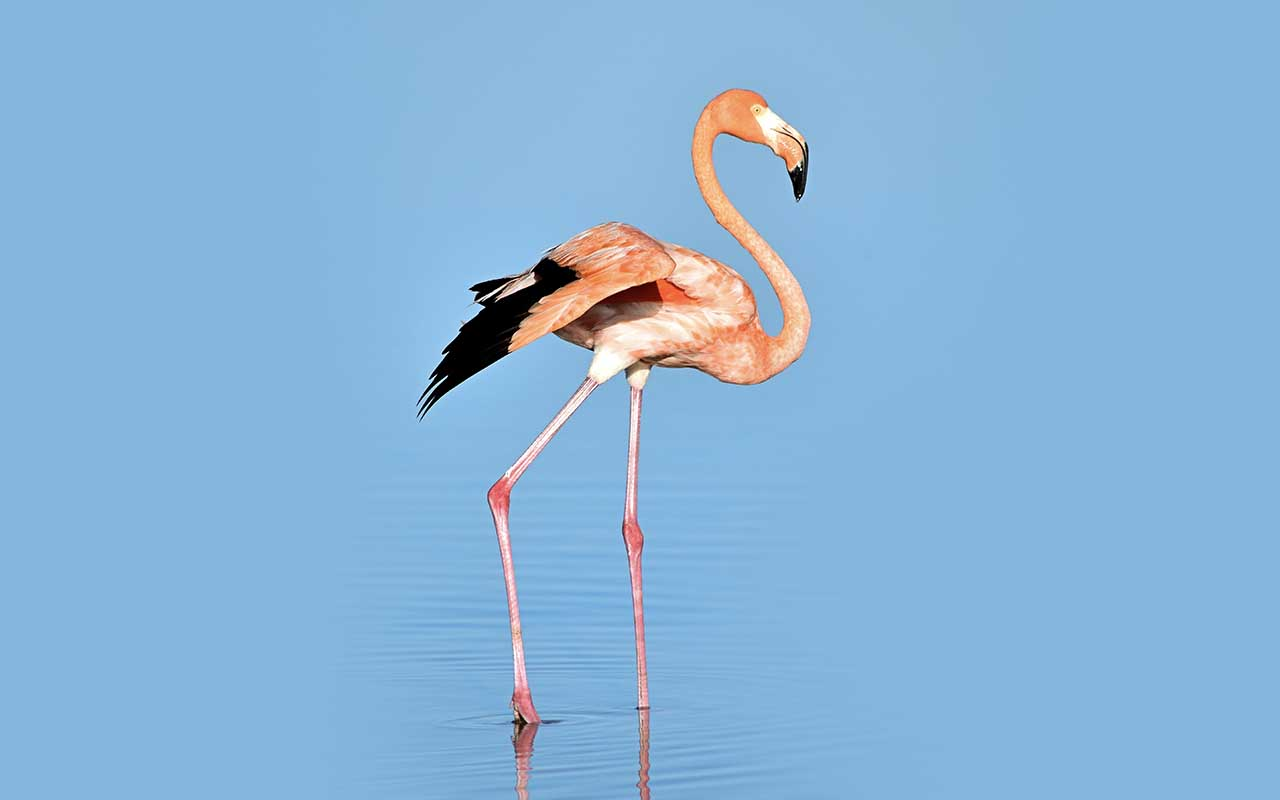 flamingo, ankle, knee, facts, animals, nature, life