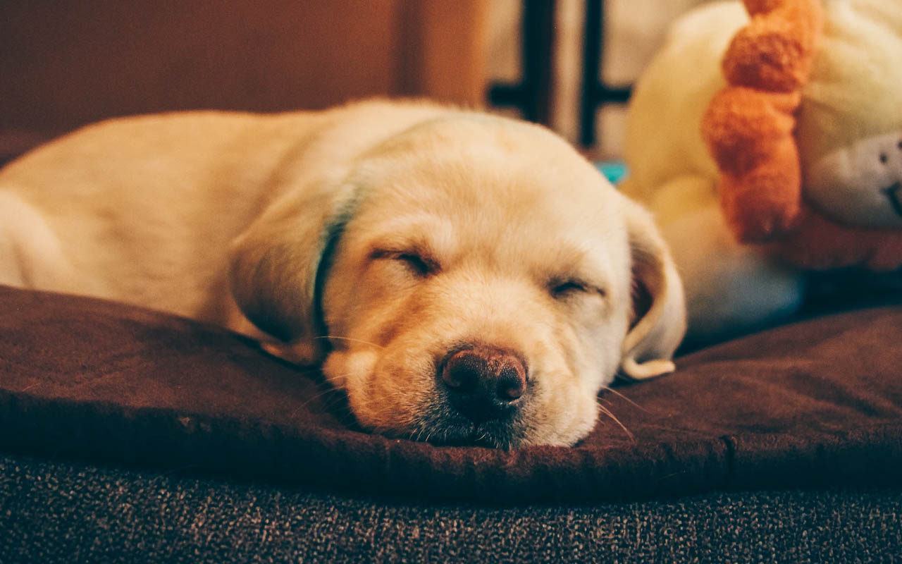 dogs, sleeping, humans, owners, facts, science, research