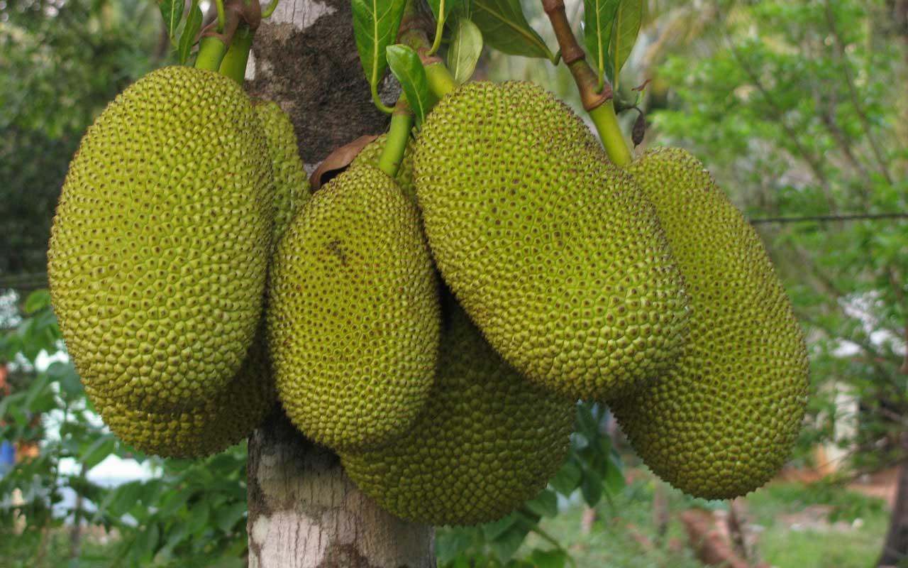 jackfruit, foods, life, facts, India, Kerala, chakka,
