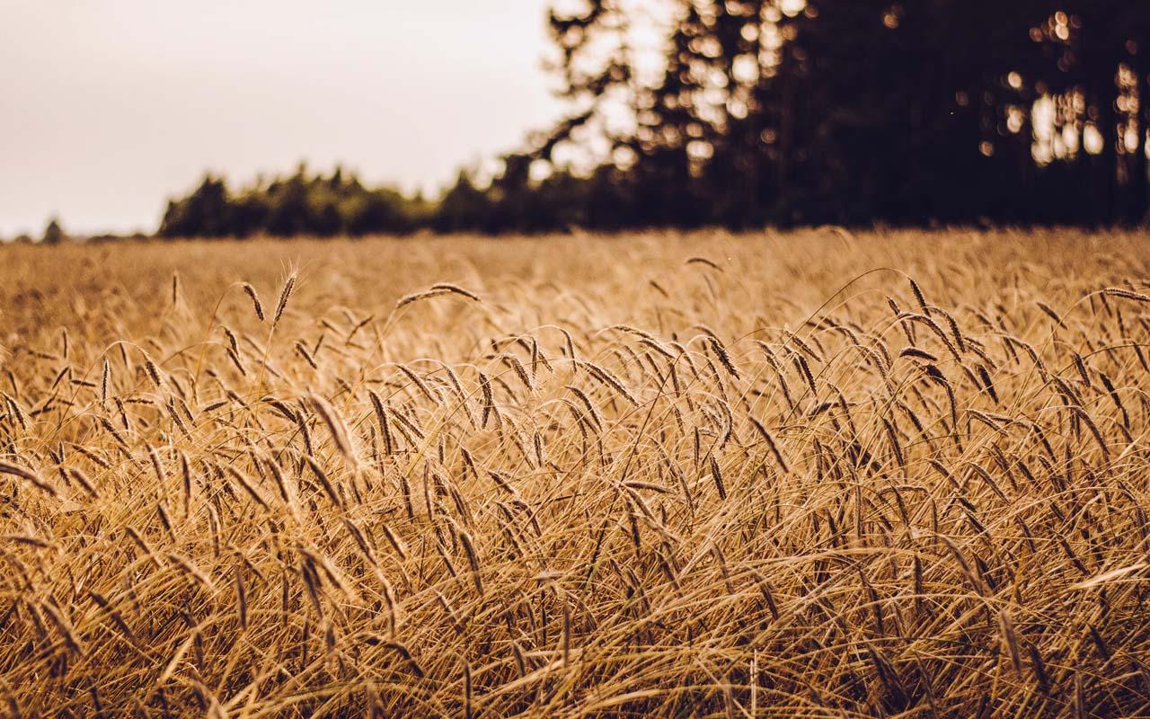 wheat field, history, vintage, summer, harvest, sun, sunlight