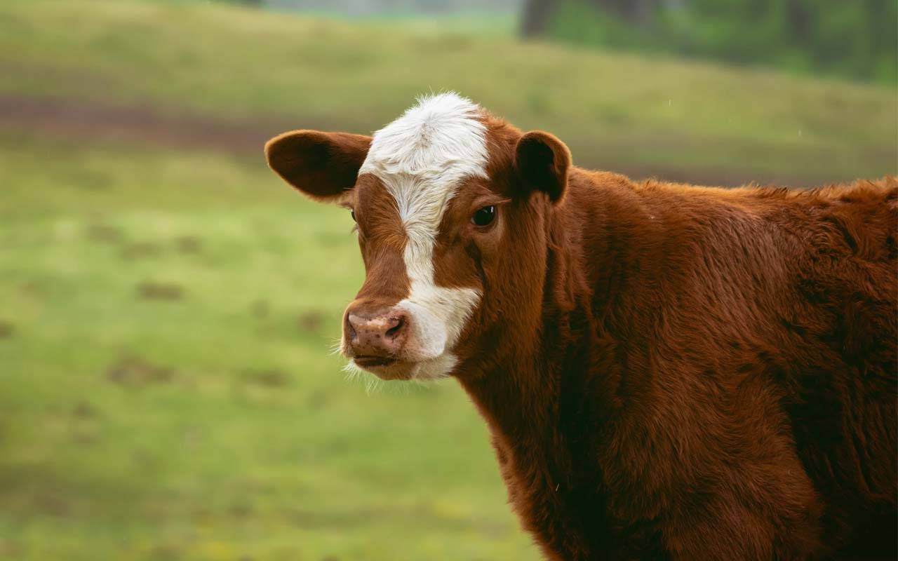 cows, Highlander, regional accent, humans, green, animals, Earth
