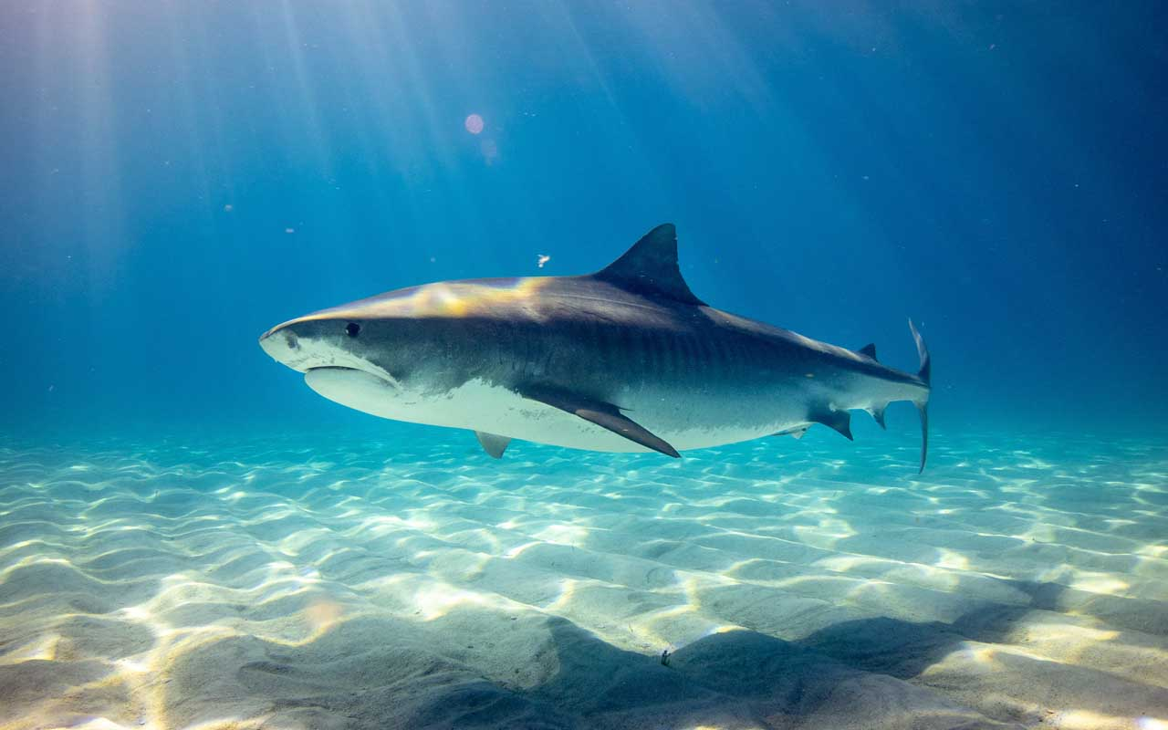 human, shark, teeth, strength, ocean, nature, metal, underwater