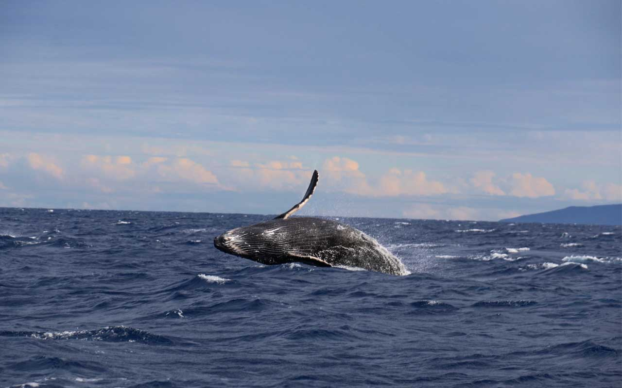 Hawaii, whale, breaching, ocean, distance, science
