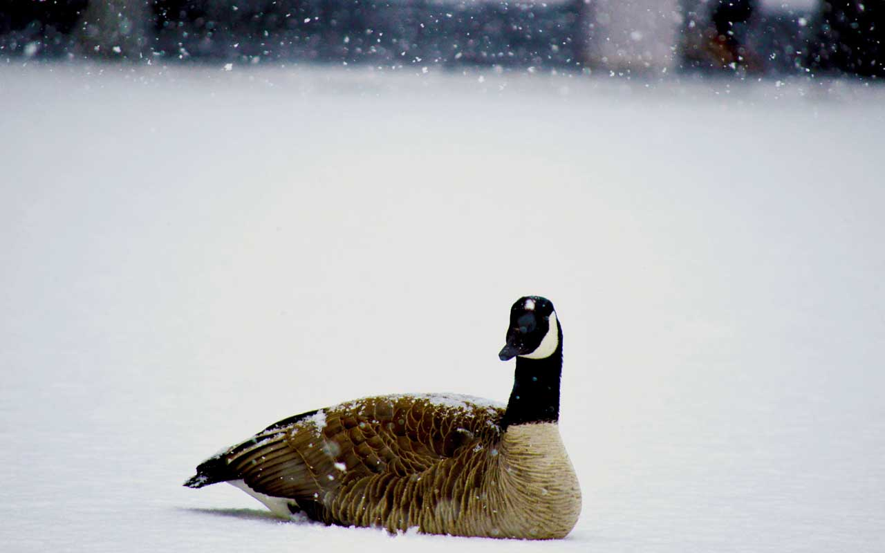 geese, snow, security, Canada, China, animals, birds, protection