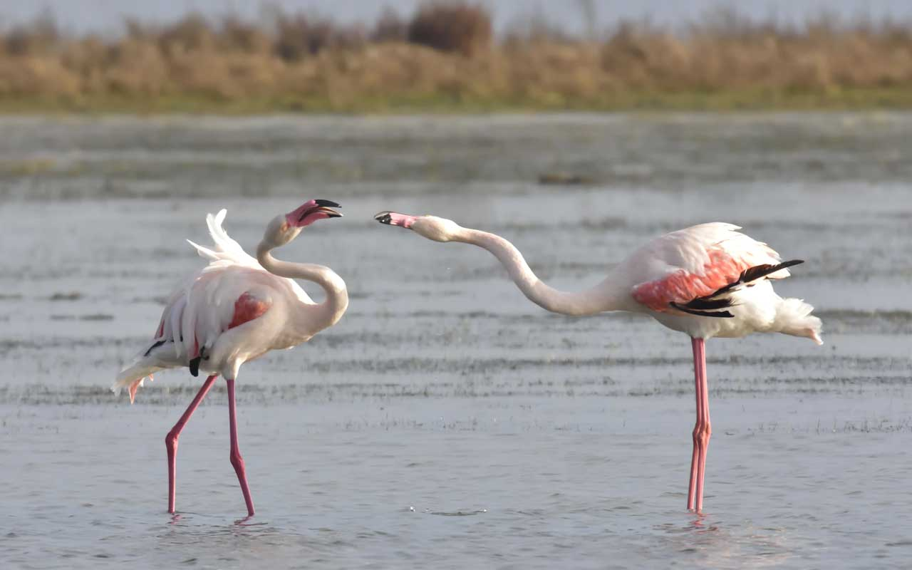 flamingos, animals, birds, life, nature, United States