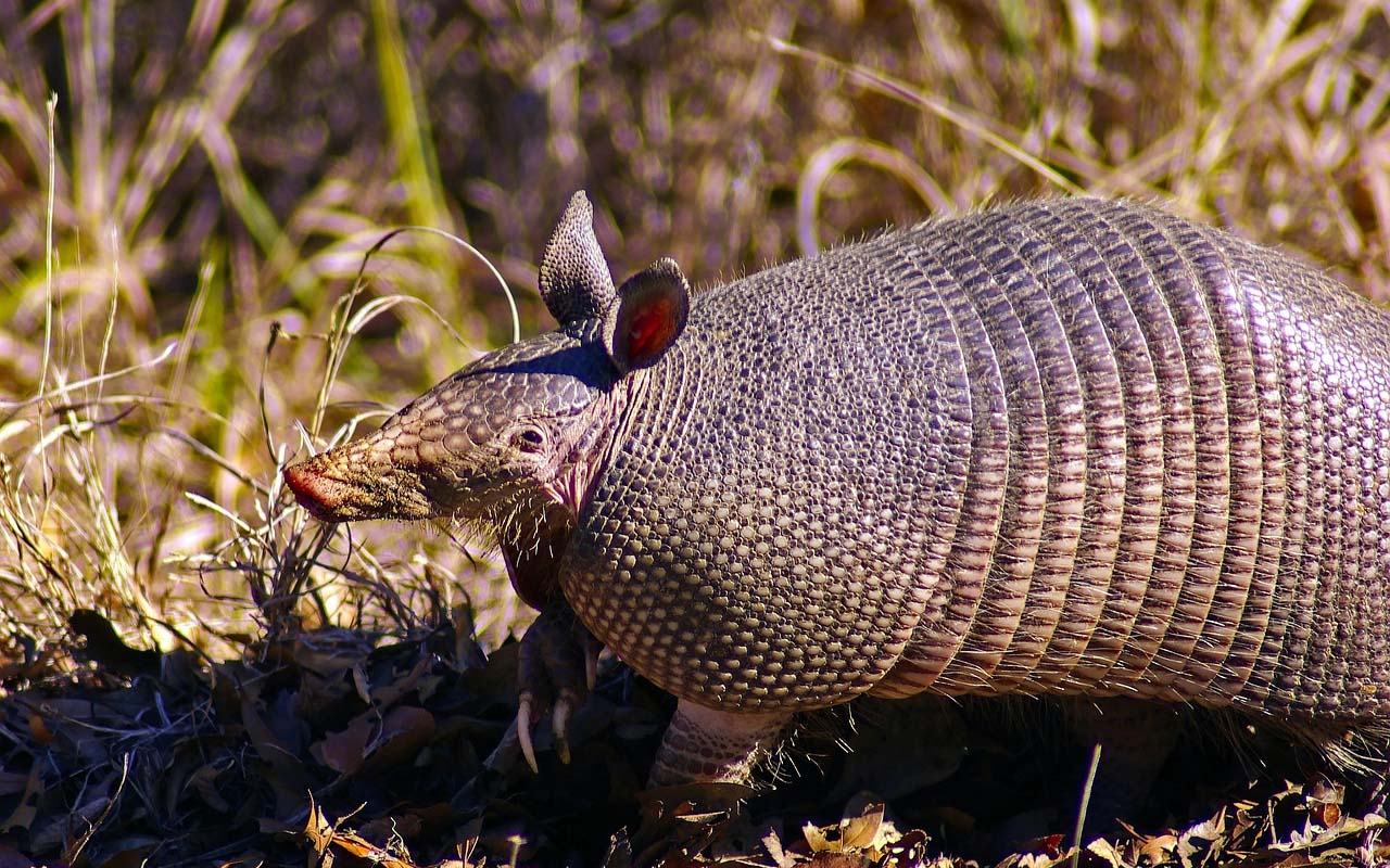armadillo, facts, animals, nature, life, people, swimming, water, ocean, lake