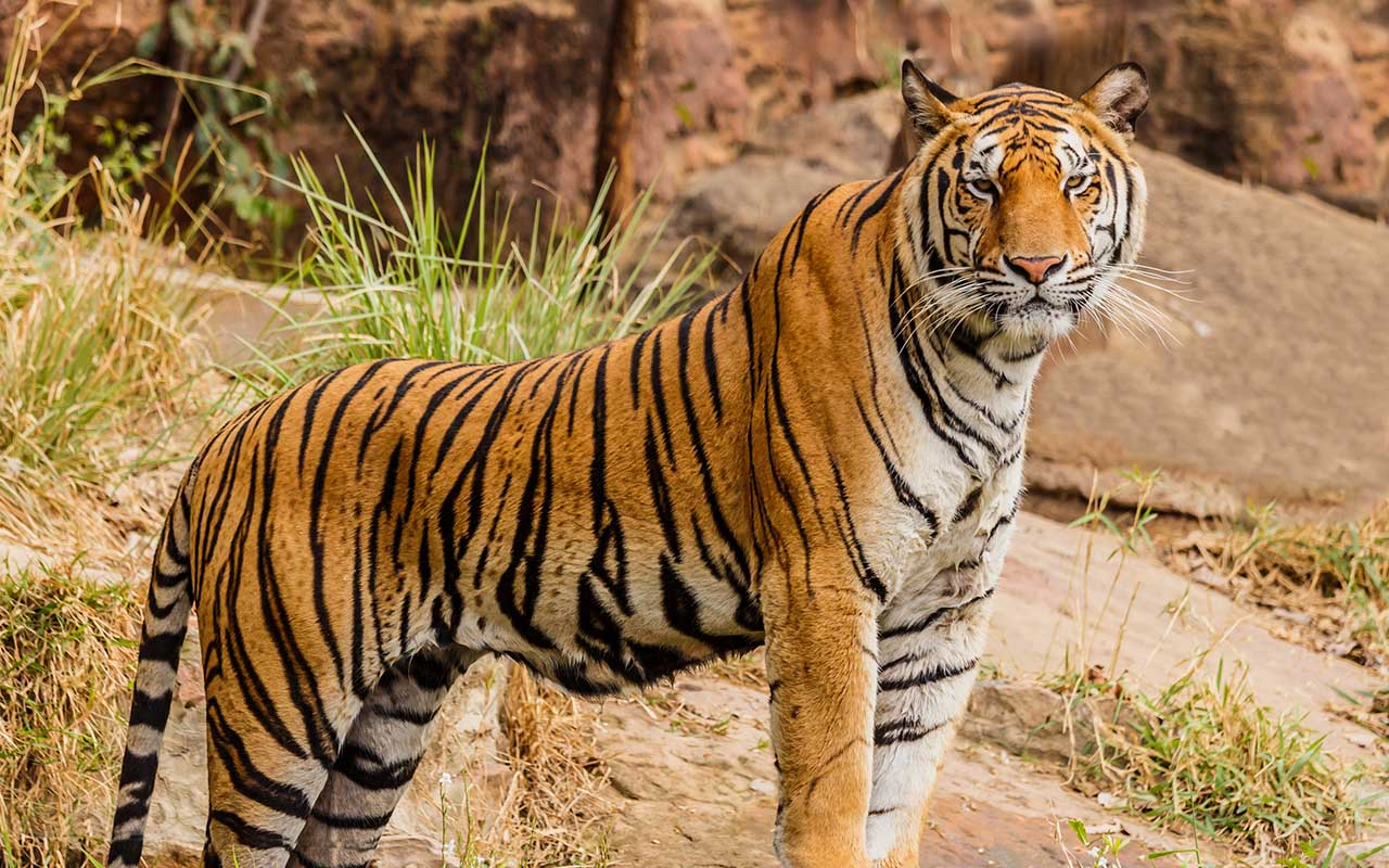 tiger, animals, wild, nature, creatures, Earth, roaming