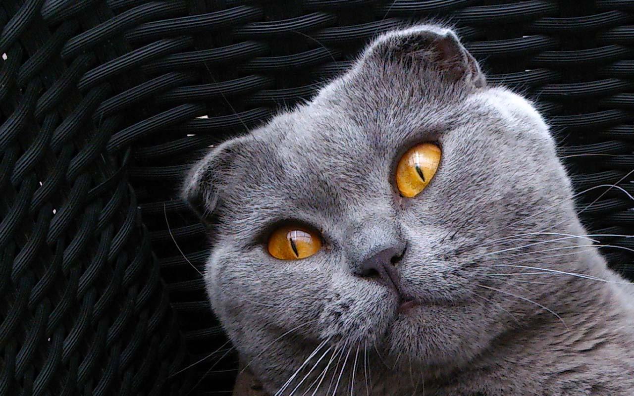 Scottish Fold, cat, cat breeds, facts, life, animals, nature