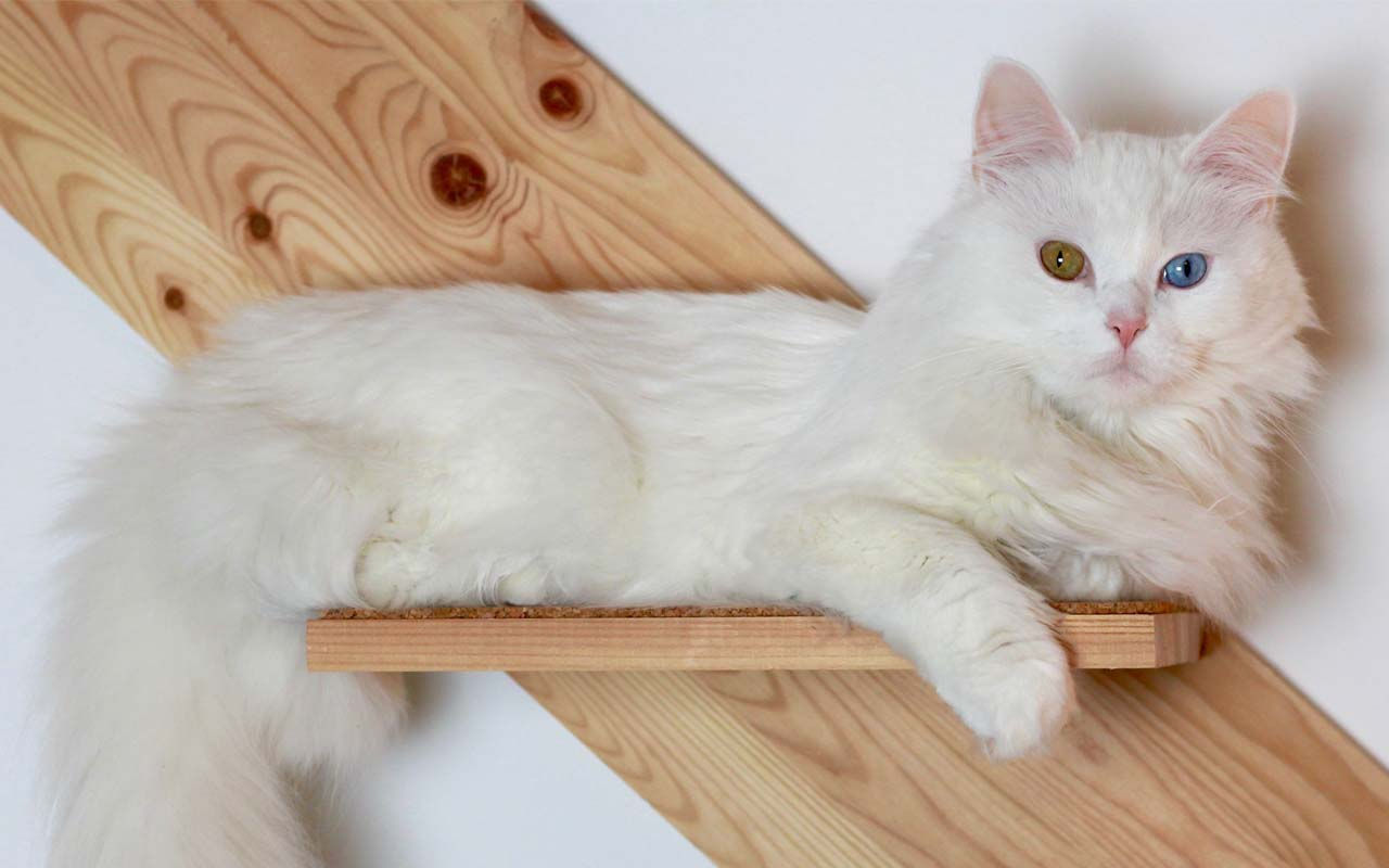 Turkish Angora, facts, animals, cats, breeds, life