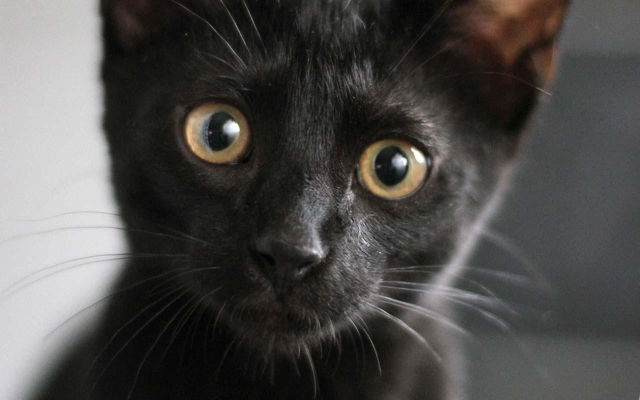 Bombay cat, kitten, animals, nature, life, facts