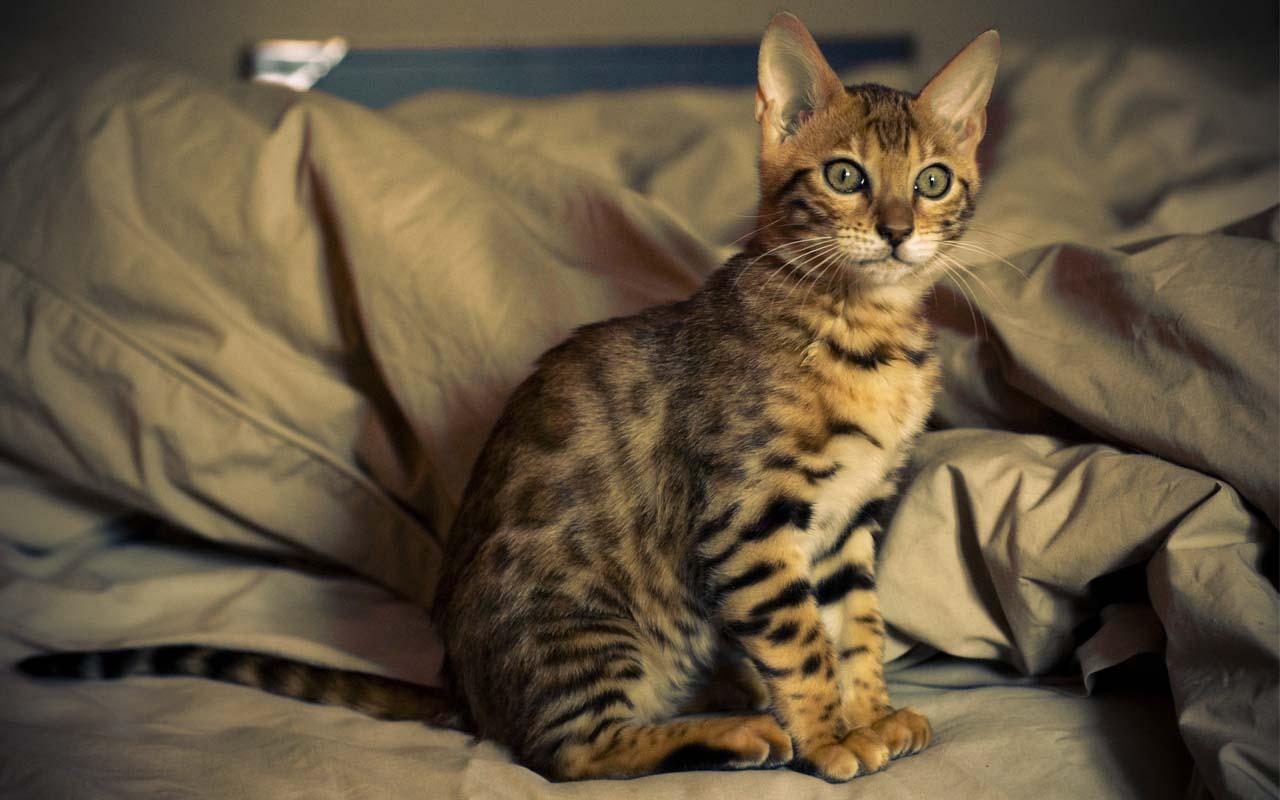 Bengal cat, kitten, animals, felines, facts, science, origins