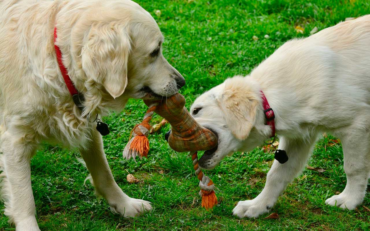 dogs, puppies, playing, facts, life, science, animals, nature
