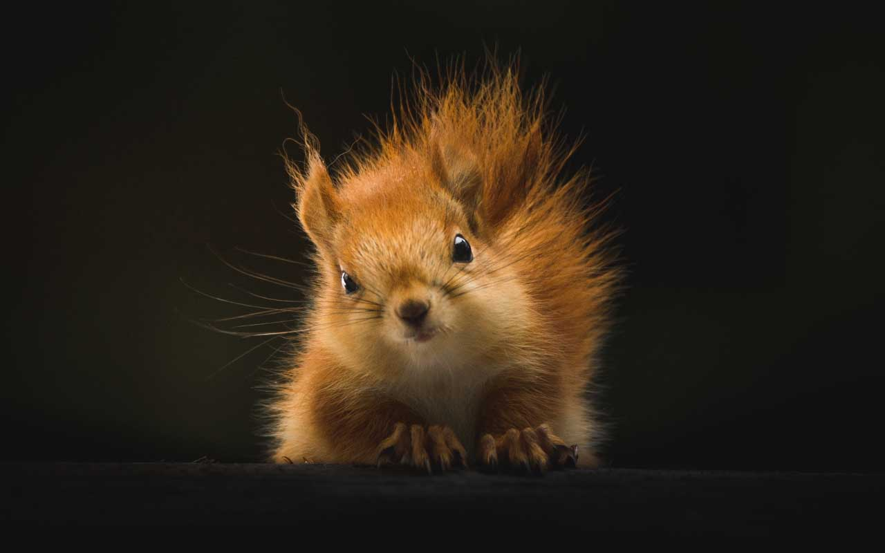 squirrels, adopt, animals, facts, life, nature