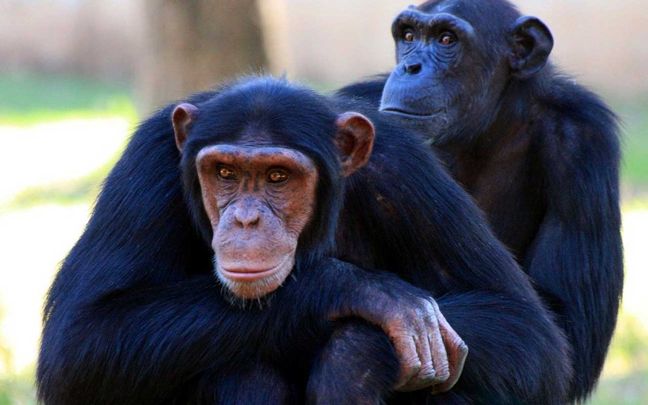 Chimpanzee, monkey, animal, life, facts, people, weird, compassion, humans