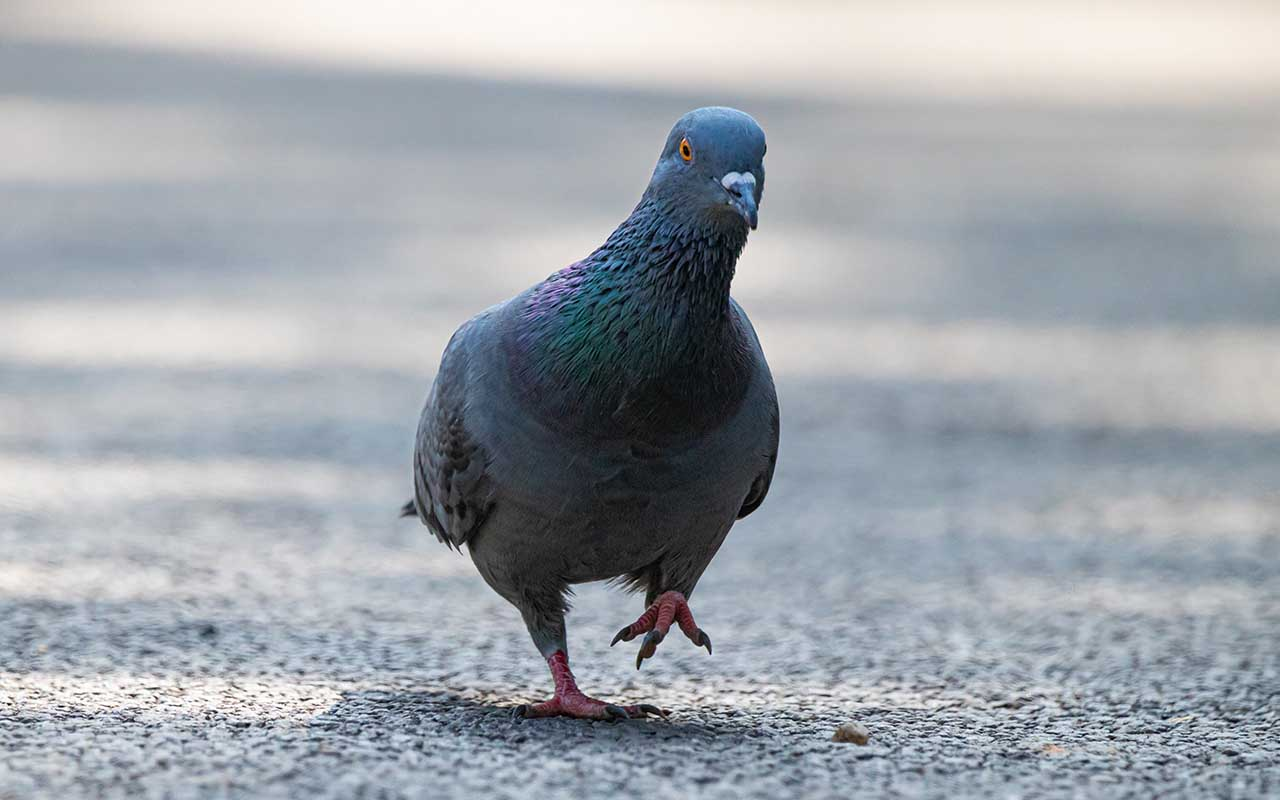 pigeons, birds, animals, facts, nature, Earth, life