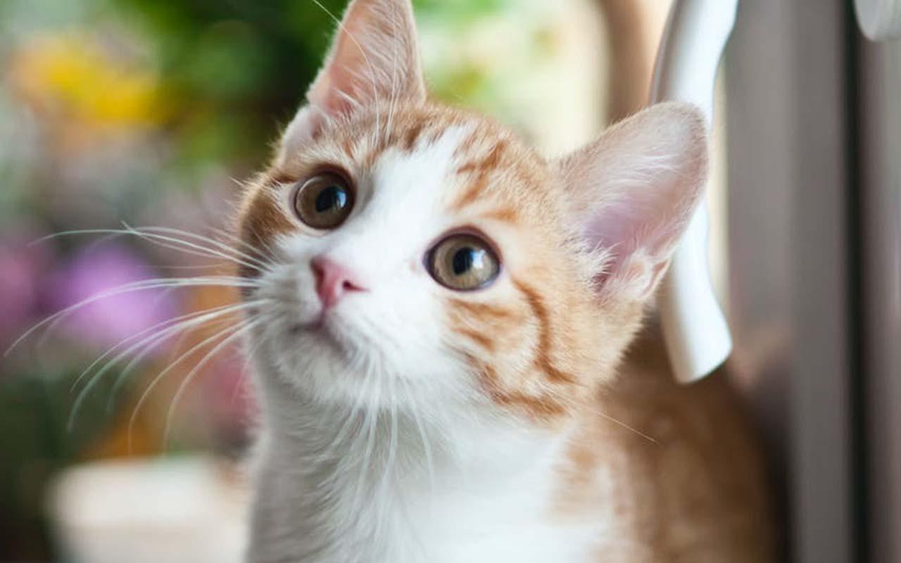 cats, ears, super sensitive, life, hearing