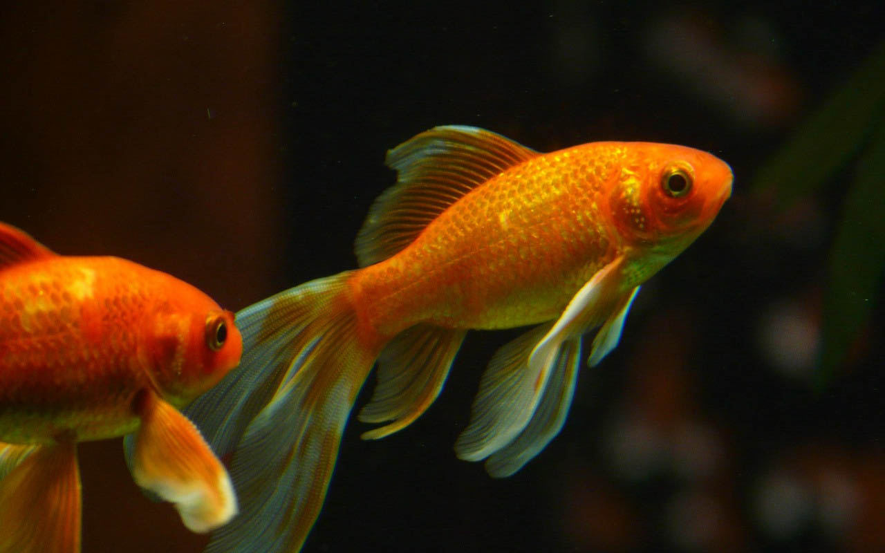 goldfish, bowl, water, ocean, facts, myths