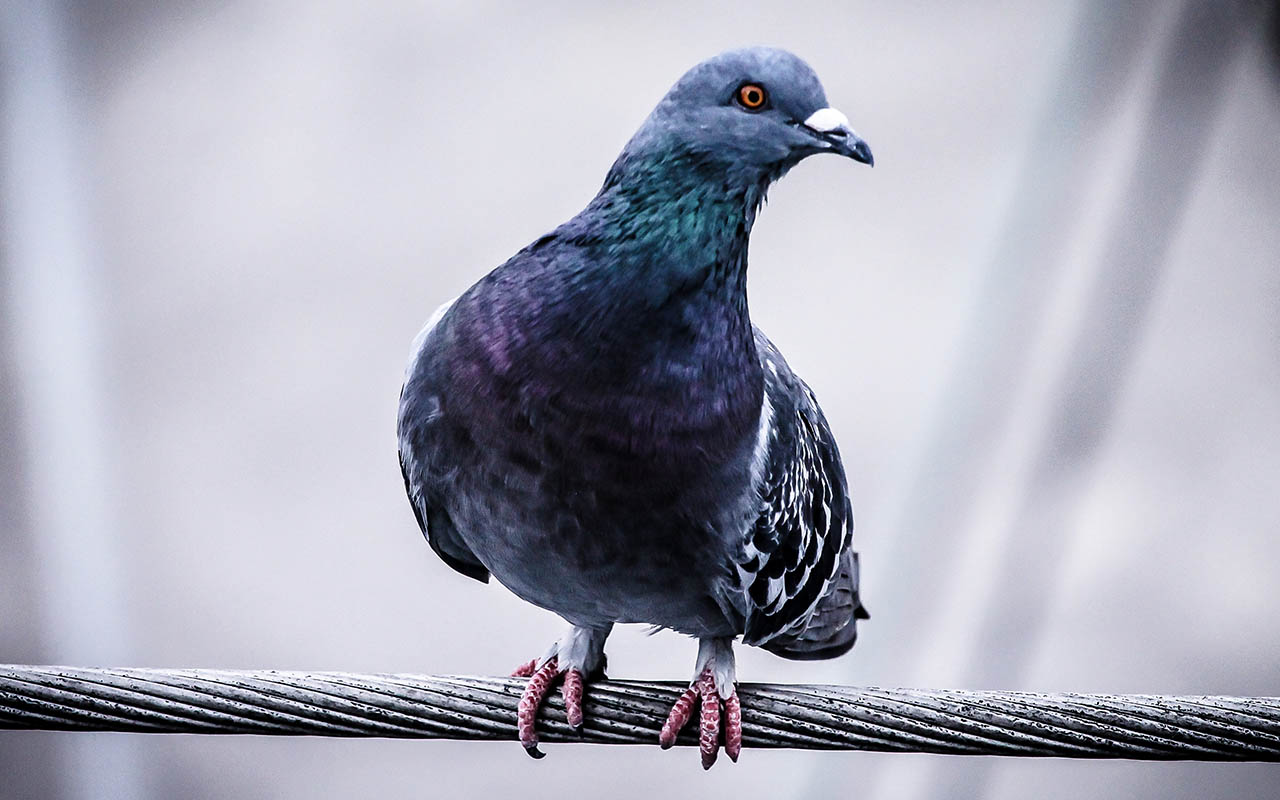 pigeons, face recognition, facts, nature, birds, crows