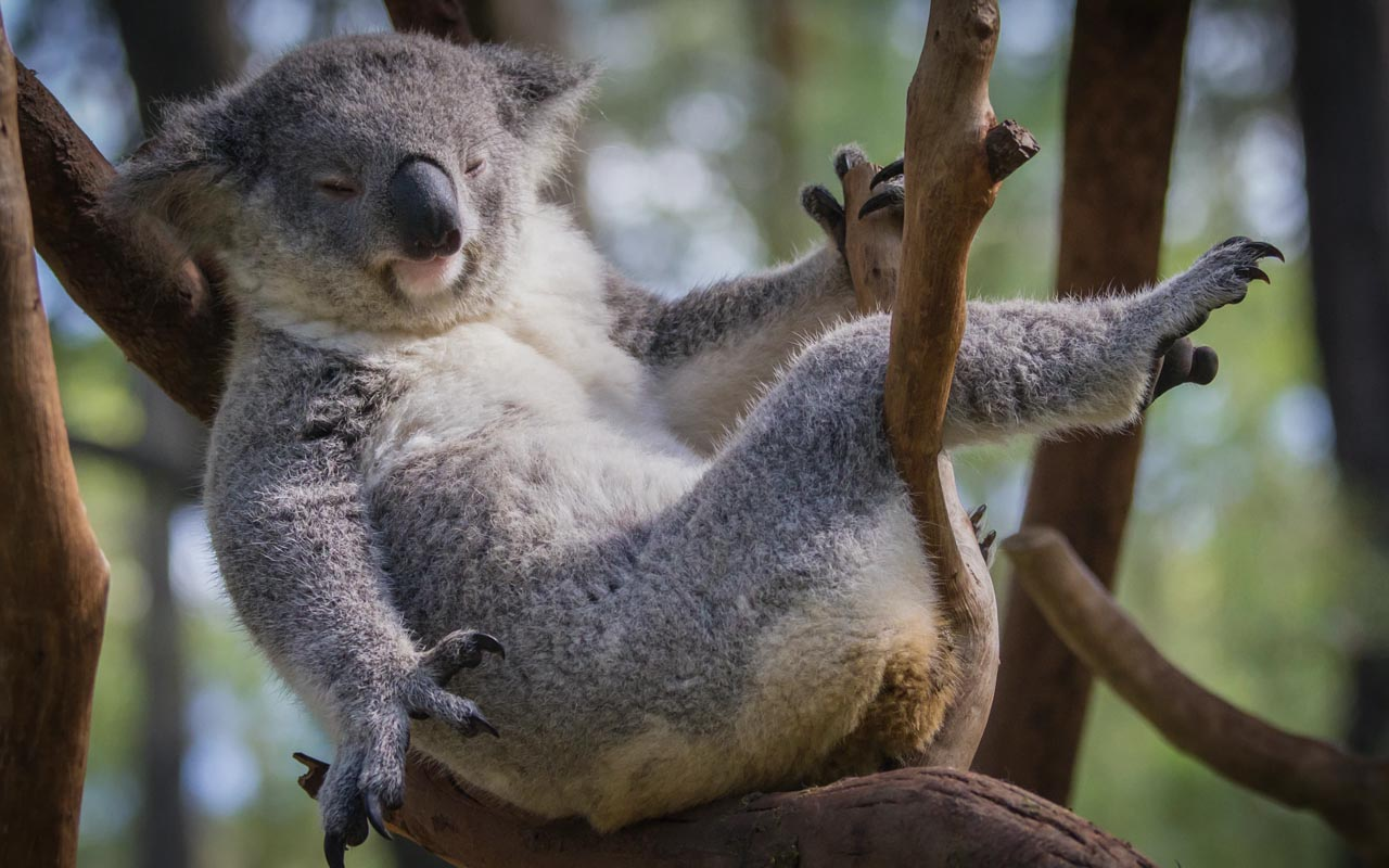 koala, fingerprints, facts, life, people