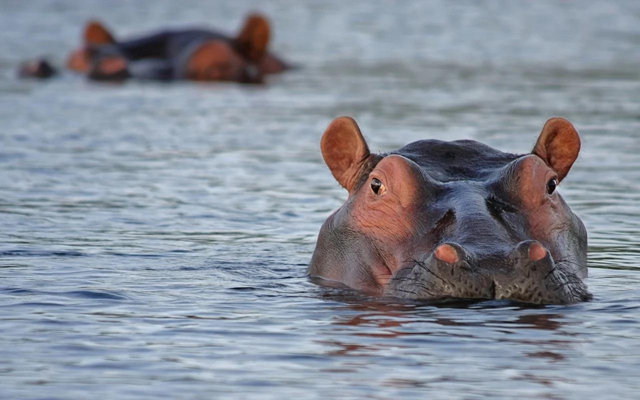 hippopotamus, crocodile, Africa, life, continents, danger, wildlife