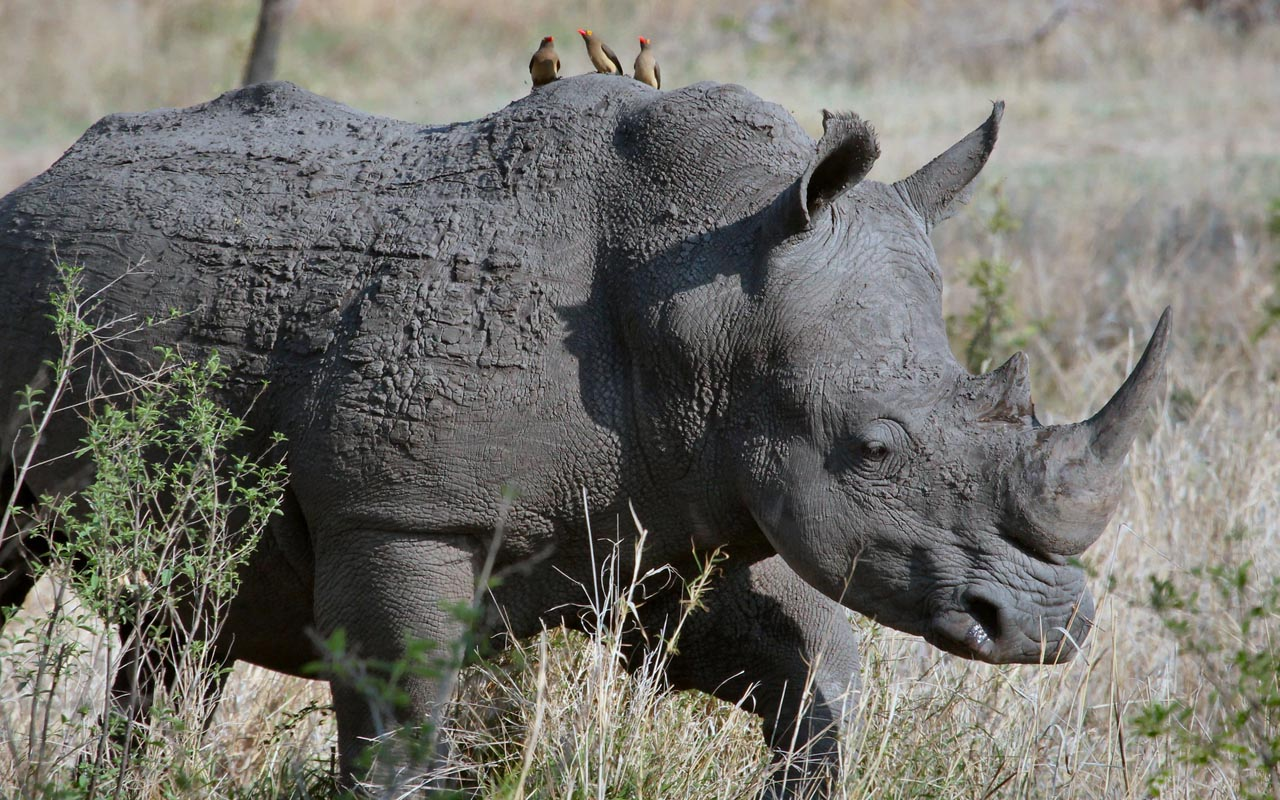 rhinoceros, hair, horn, facts, nature, entertainment,