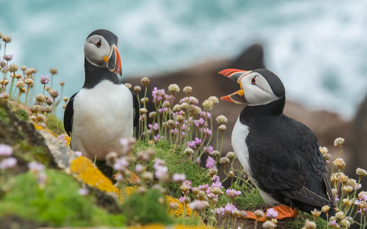 puffins, facts, animals, life, nature, laugh,