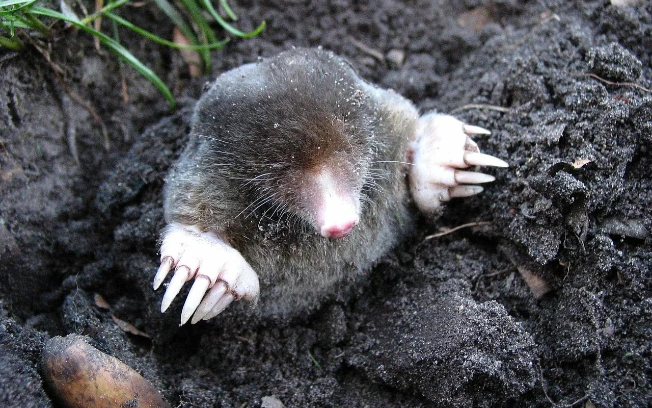 mole, animals, life, facts, nature, sight