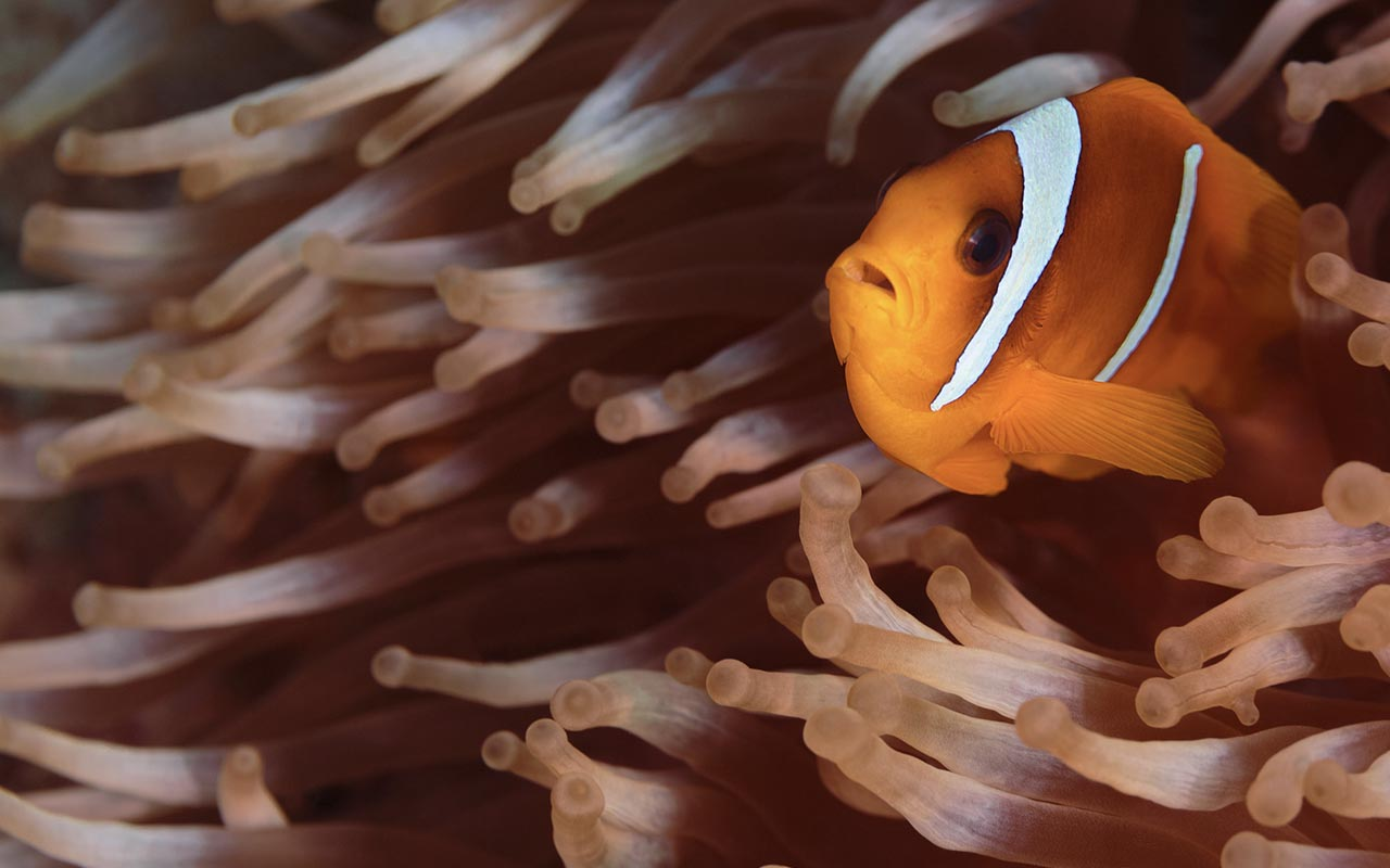 clownfish, nature, ocean, life, facts, weird