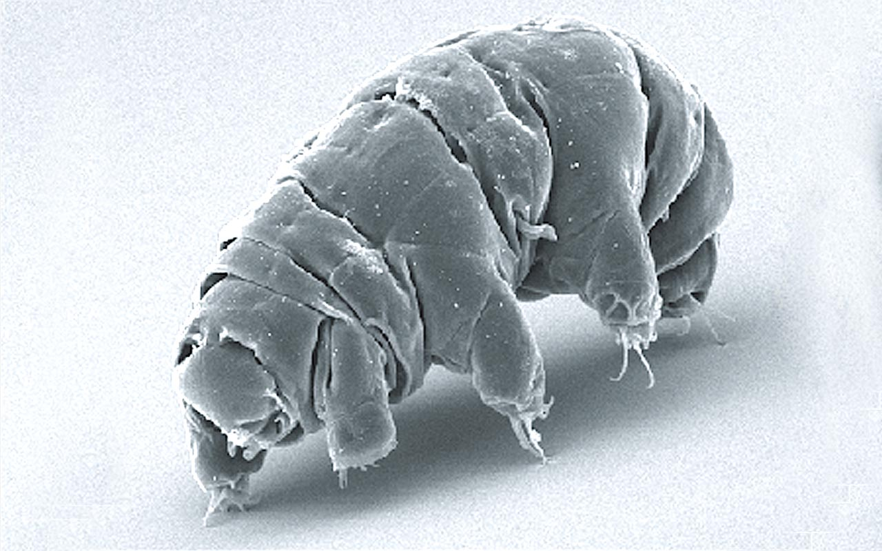 water bear, tardigradum, animals, laugh, smile, what, facts, scinece