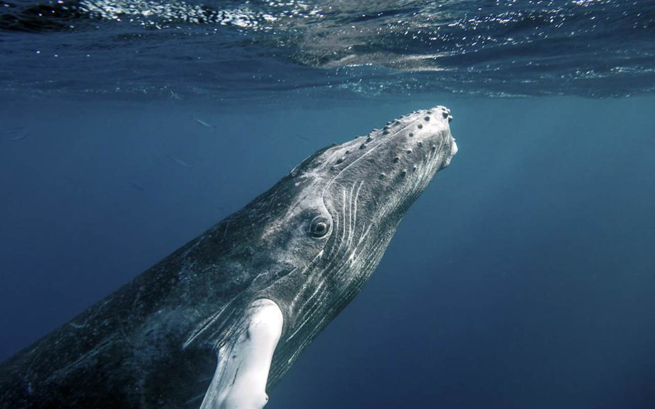 humpback whales, facts, ocean, creatures, life, animals