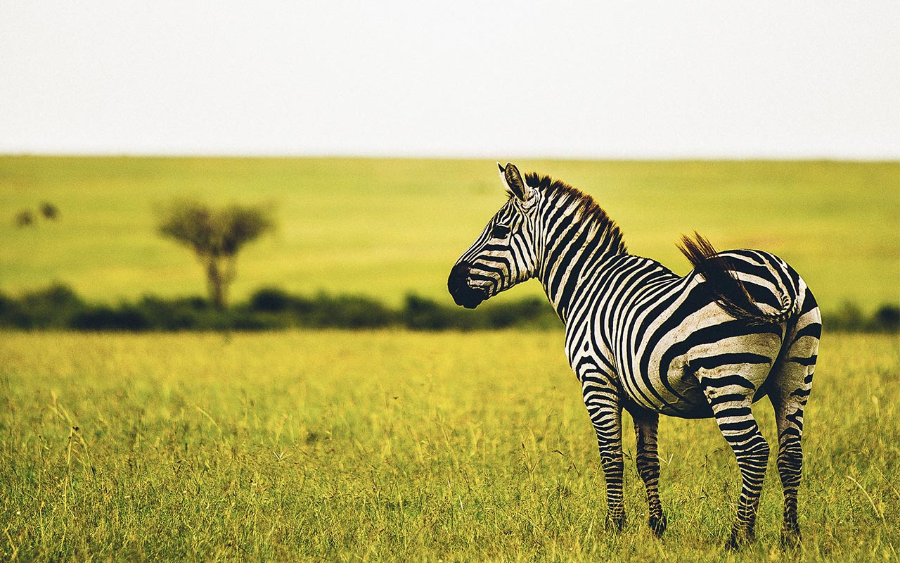 zebra, facts, science, nature, animals, life, wild