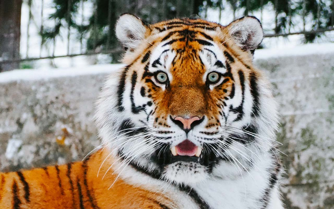 tiger, Texas, facts, animals, Nature, Earth