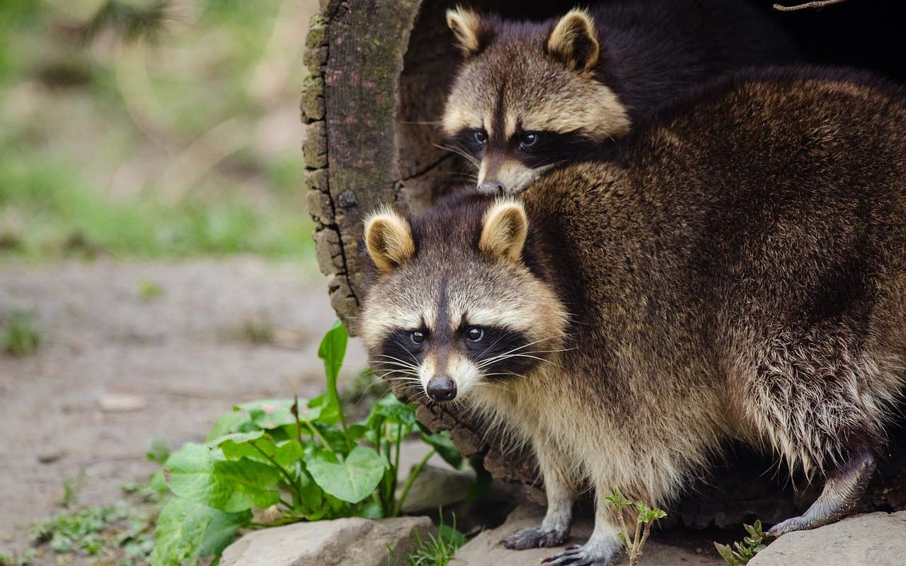 raccoon, animal, wild, facts, nature, locks