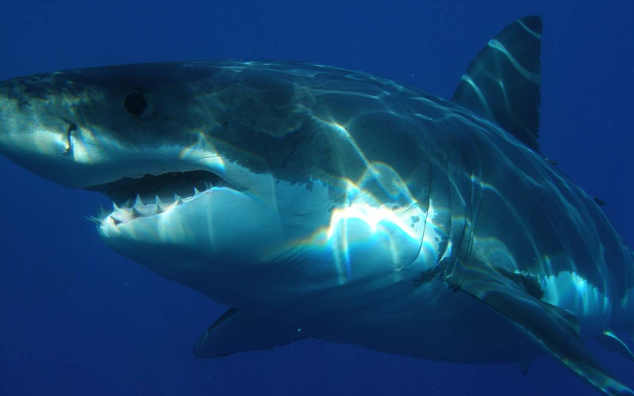 Great white sharks, ocean, nature, life, teeth