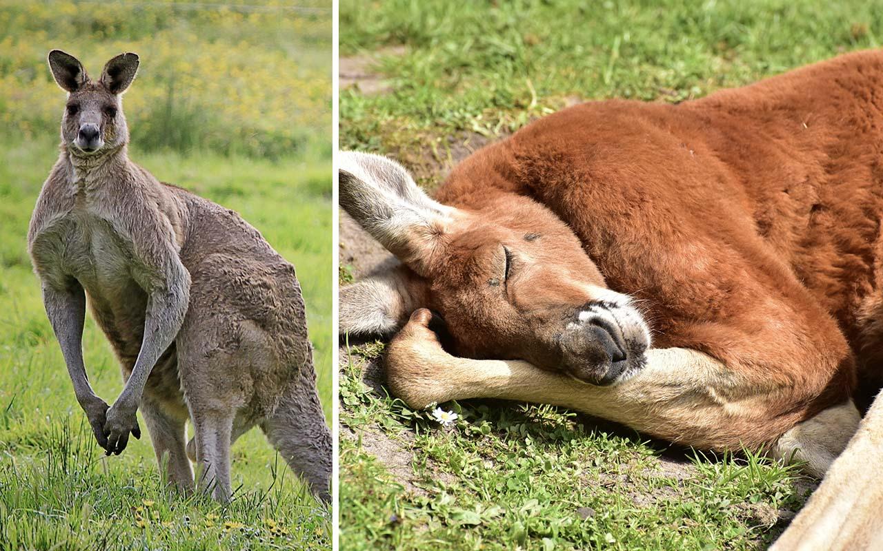 kangaroos, muscles, flexing, animals, Earthly