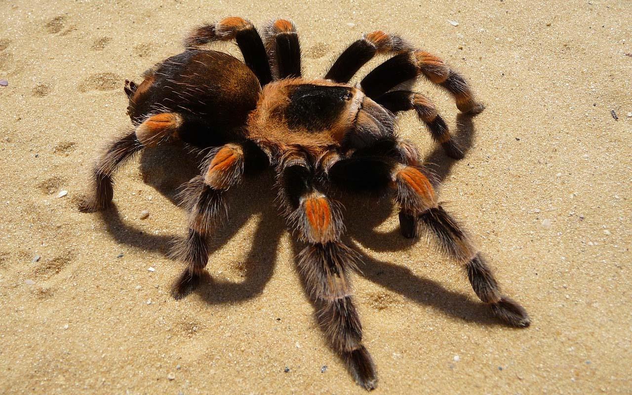 tarantula, spiders, endurance, life, facts, water