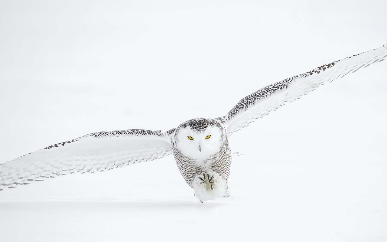 owl, flying, quiet, animals, nature, life, science