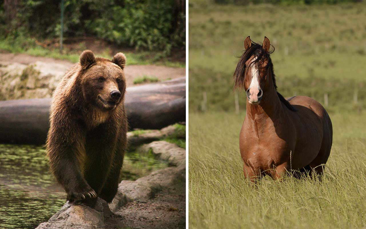 grizzly bear, horse, speed, running, facts, animals