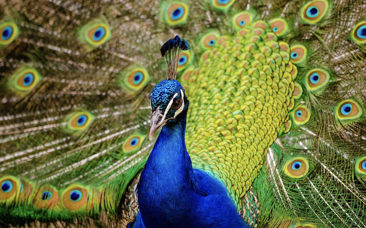 peacock, peahen, facts, animals, birds, feathers, national bird, India