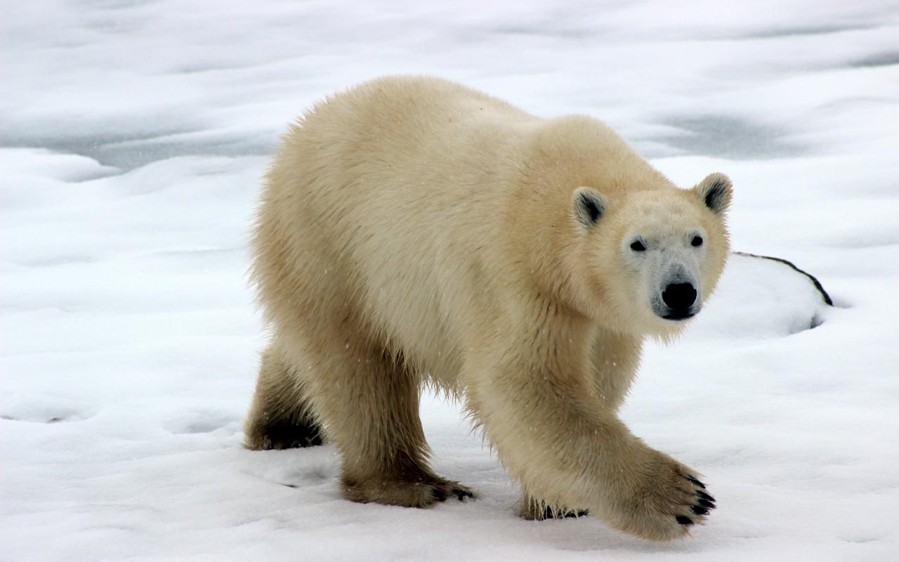 polar bear, facts, nature, animals, Earth, survival