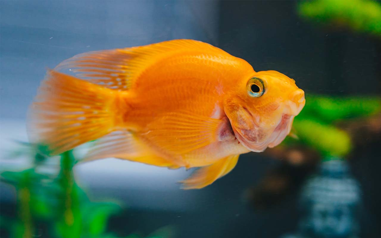 goldfish, animals, sea, pets, color, fade, facts, stick
