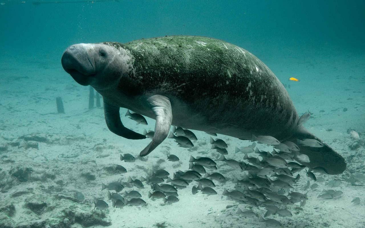 manatees, animals, buoyancy, facts, animals, life