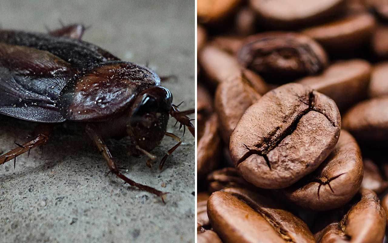 cockroach, coffee, ground coffee, beverage, popular drinks