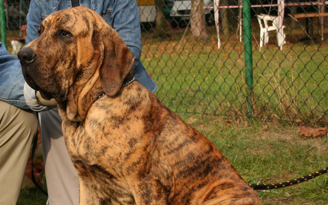 Fila Brasileiro, Brasil, dog, life, people, breed, dogs