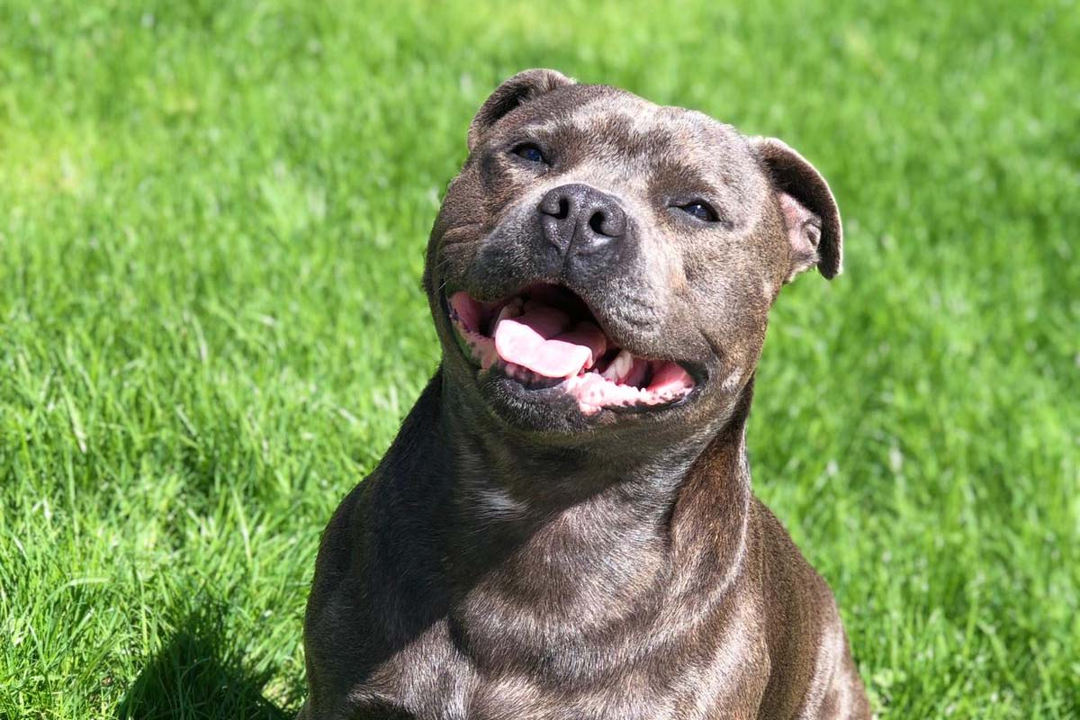 Staffordshire Bull Terrier, dog breed, breeds, animals, loving, caring, pets, humans, emotions,