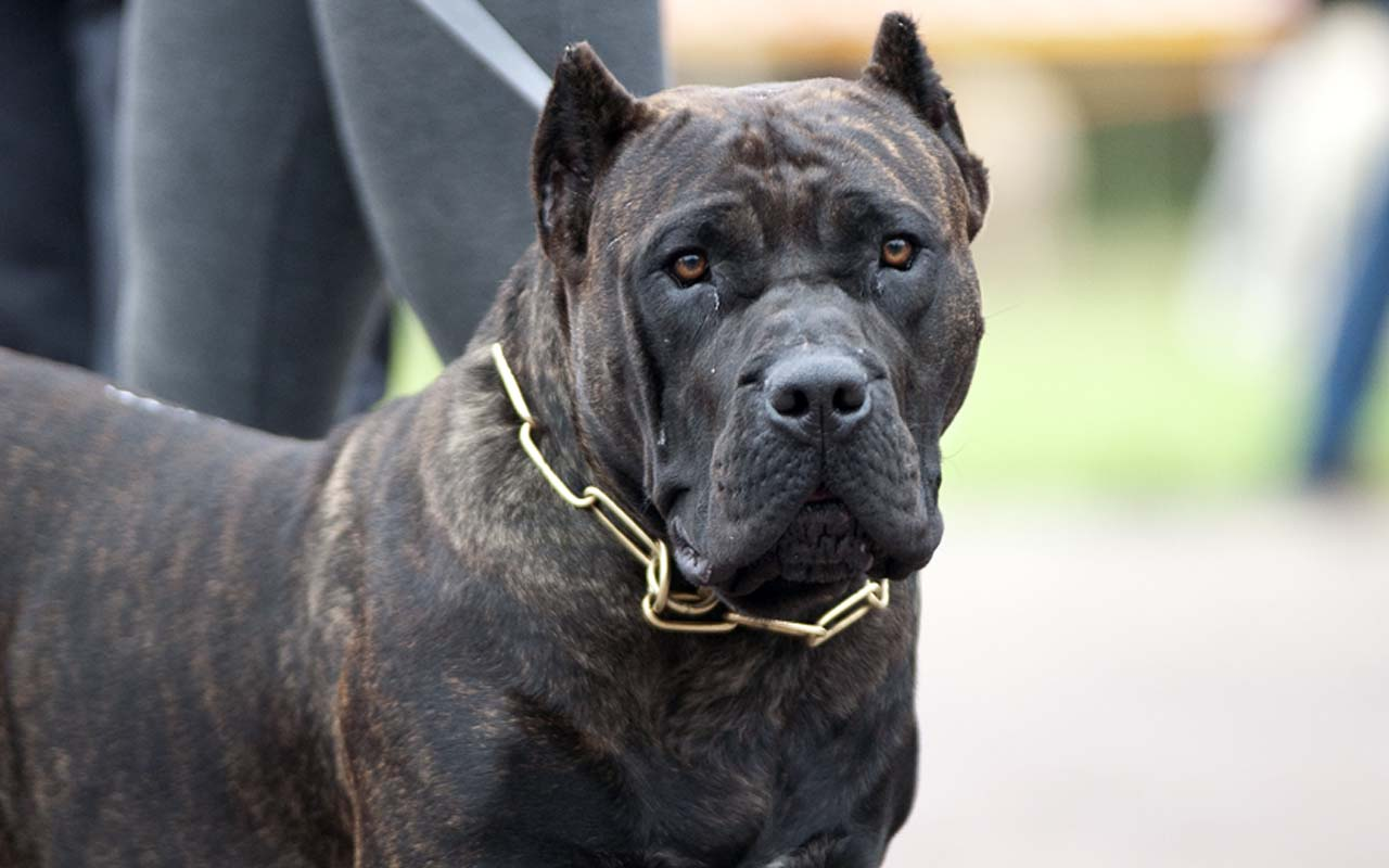 Presa Canario, Brazil, animals, dogs, facts, countries, breed