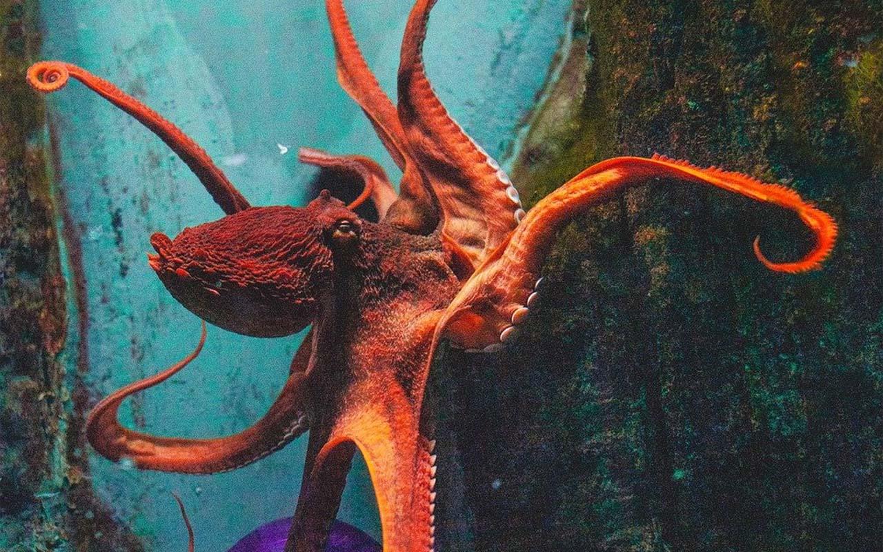 giant octopus, body, aquarium, water, ocean, capable, capabilities, facts, heard,
