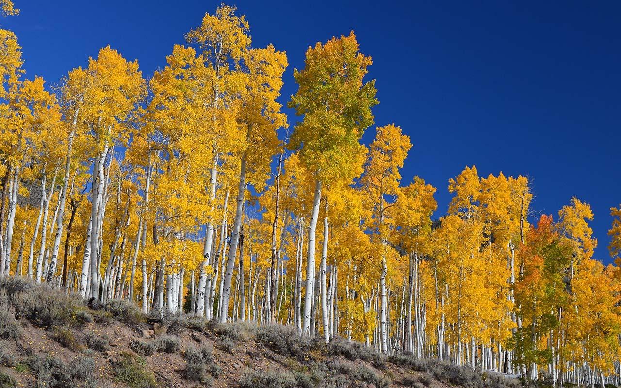 Aspen grove, Pando aspen, living organism, facts about nature, nature